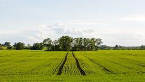 Piękni zieleni pola pod niebieskim niebem w lecie Zdjęcia Stock
