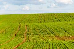 Piękni zieleni pola pod niebieskim niebem w lecie Obraz Royalty Free