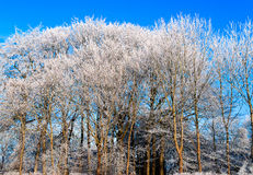 Piękni zim drzewa Fotografia Stock