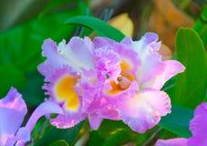 Piękno Kolorowe orchidee Fotografia Royalty Free