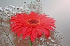 Piękno kolory, czerwona stokrotki pasja Zdjęcia Royalty Free