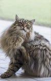 Piękno kota brown twarzy purebred siberian samiec w chrobotliwym czasie Fotografia Stock