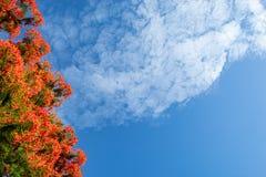 Piękno kwiat L czerwony Caesalpinia pulcherrima lub Sw Fotografia Royalty Free