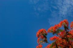 Piękno kwiat L czerwony Caesalpinia pulcherrima lub Sw Zdjęcie Royalty Free