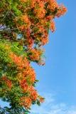 Piękno kwiat L czerwony Caesalpinia pulcherrima lub Sw Zdjęcia Stock