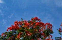 Piękno kwiat L czerwony Caesalpinia pulcherrima lub Sw Obraz Stock
