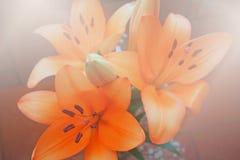 Piękno kwiaty, leluje Zdjęcie Royalty Free