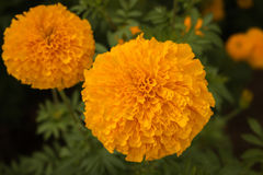 Piękno nagietka flory Obraz Royalty Free