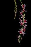 Piękno orchidea Zdjęcia Royalty Free