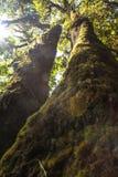 Piękno patern rododendronowy drzewo w lesie Fotografia Stock