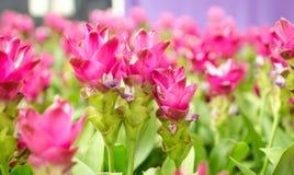 Piękno Siam tulipan kwitnie od Thailand Obrazy Royalty Free