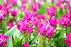 Piękno Siam tulipan kwitnie od Thailand Zdjęcie Stock