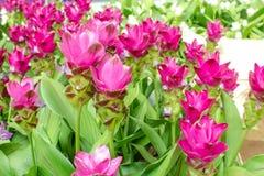 Piękno Siam tulipan kwitnie od Thailand Fotografia Royalty Free