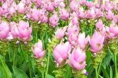Piękno Siam tulipan kwitnie od Thailand Zdjęcie Royalty Free