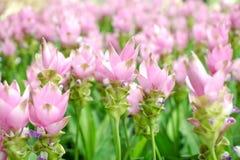 Piękno Siam tulipan kwitnie od Thailand Fotografia Stock