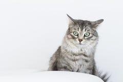 Piękno srebny kot salowy siberian traken Obraz Stock