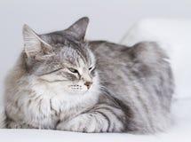 Piękno srebny kot salowy siberian traken Zdjęcia Royalty Free