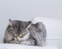 Piękno srebny kot salowy siberian traken Zdjęcie Stock