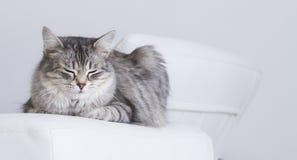 Piękno srebny kot salowy siberian traken Fotografia Royalty Free