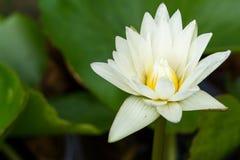 Piękno wodnej lelui kwiat Lotosowego kwiatu i Lotosowego kwiatu plan Zdjęcie Royalty Free