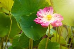 Piękno wodnej lelui kwiat Lotosowego kwiatu i Lotosowego kwiatu plan Fotografia Royalty Free