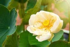 Piękno wodnej lelui kwiat Lotosowego kwiatu i Lotosowego kwiatu plan Obraz Stock
