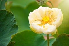 Piękno wodnej lelui kwiat Lotosowego kwiatu i Lotosowego kwiatu plan Zdjęcie Stock
