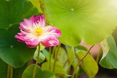 Piękno wodnej lelui kwiat Lotosowego kwiatu i Lotosowego kwiatu plan Obrazy Stock