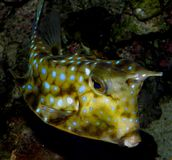 Piękny akwarium ryba Lactoria cornuta zdjęcie stock