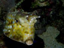 Piękny akwarium ryba Lactoria cornuta obraz royalty free