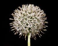 piękny allium kwiat Zdjęcia Stock