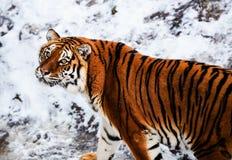 Pi?kny Amur tygrys na ?niegu Tygrys w zima lesie fotografia stock