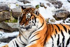 Pi?kny Amur tygrys na ?niegu Tygrys w zima lesie obraz stock