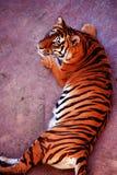 Pi?kny Amur tygrysa portret Niebezpieczny zwierz? obraz royalty free