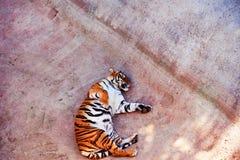 Pi?kny Amur tygrysa portret Niebezpieczny zwierz? zdjęcie stock