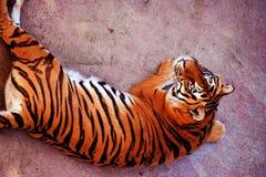 Pi?kny Amur tygrysa portret Niebezpieczny zwierz? obrazy stock