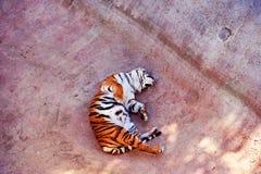 Pi?kny Amur tygrysa portret Niebezpieczny zwierz? zdjęcie royalty free
