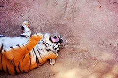 Pi?kny Amur tygrysa portret Niebezpieczny zwierz? obraz stock