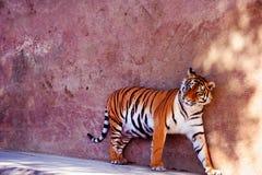 Pi?kny Amur tygrysa portret Niebezpieczny zwierz? zdjęcia royalty free