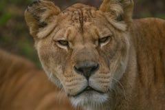 Piękny Barbary lwicy portret Fotografia Royalty Free