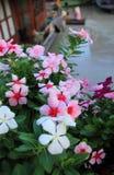 Piękny barwinek w ogródzie Zdjęcia Royalty Free