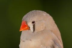 Piękny barwiony ptak Fotografia Stock