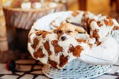 piękny beagle szczeniak Fotografia Royalty Free