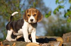 piękny beagle szczeniak Zdjęcie Stock