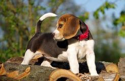 piękny beagle szczeniak Zdjęcia Stock