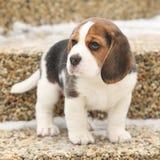 Piękny beagle szczeniak w zimie Zdjęcia Stock