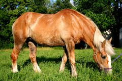 piękny belgijski konia Zdjęcia Stock
