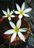 Piękny biali kwiaty Obrazy Royalty Free