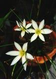 Piękny biali kwiaty Zdjęcie Stock