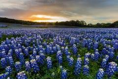 Piękny Bluebonnets pole przy zmierzchem blisko Austin, TX Obraz Stock